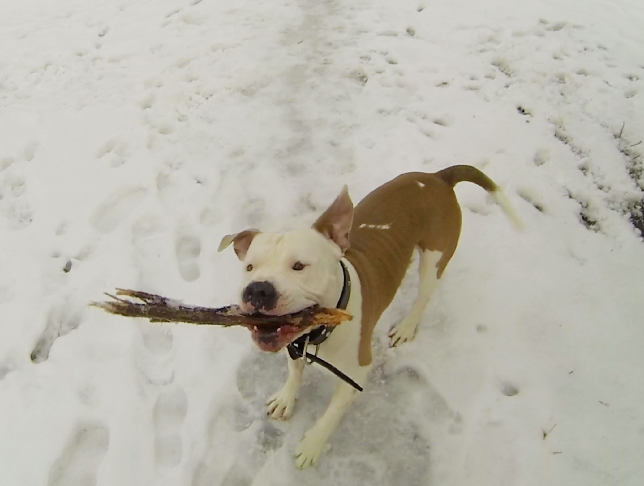 Blog - Ace the amstaff - Screw Them All