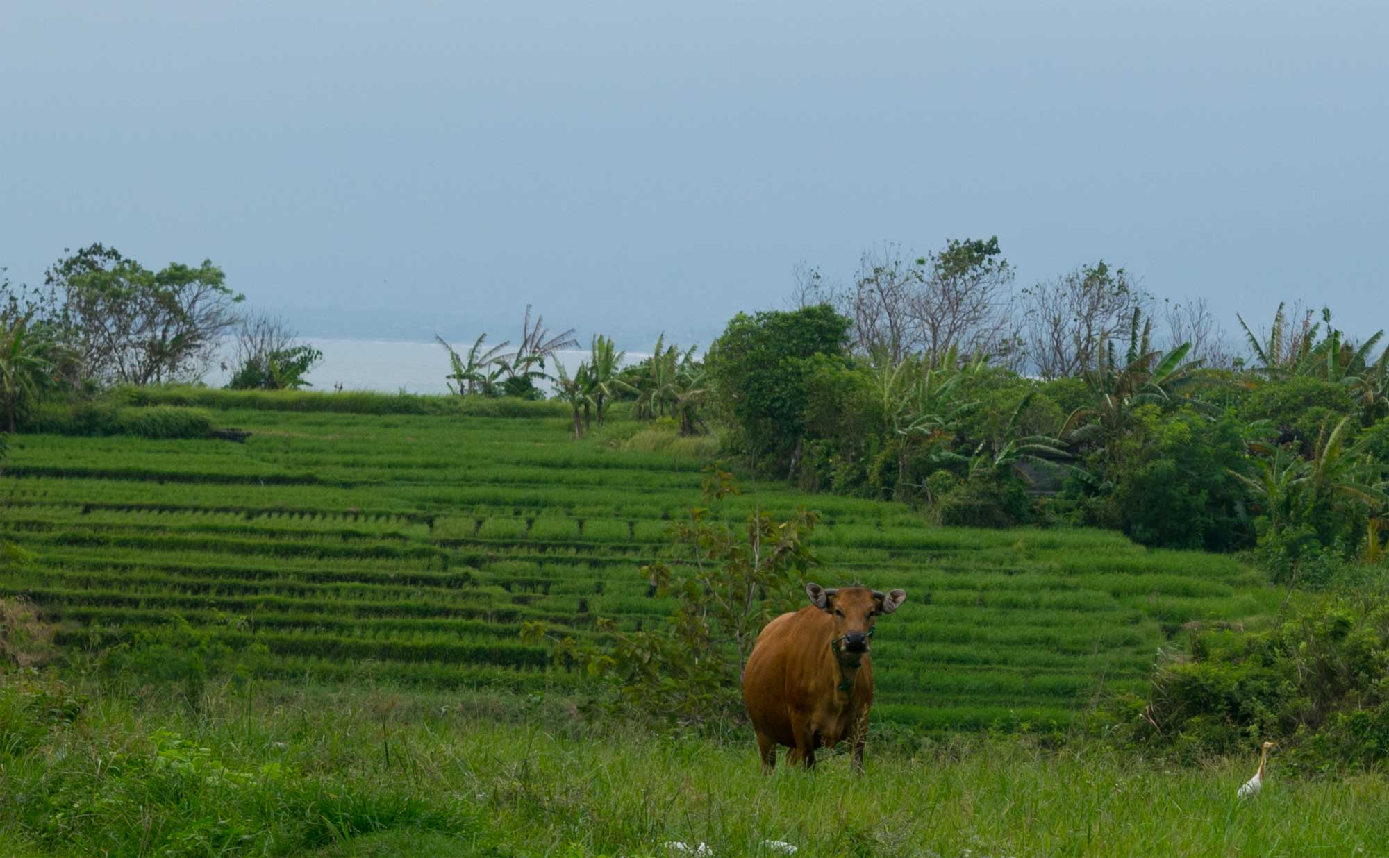 Off the path - A cow and his bird friend - Travel blog Bali - Screw Them All
